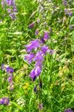 Flores brillantes de la lila del bellflower o del latifolia gigante de la campánula bajo luz del sol en fondo borroso foto de archivo