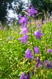 Flores brillantes de la lila del bellflower o del latifolia gigante de la campánula bajo luz del sol en fondo borroso imagen de archivo libre de regalías
