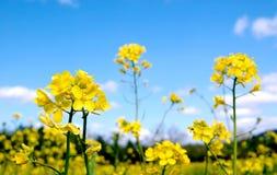 Flores brillantes de la mostaza Fotos de archivo libres de regalías
