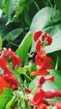 Flores brillantes de la planta de haba roja Fotos de archivo