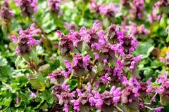 Flores brillantes de la primavera de la lila con las hojas verdes ilustración del vector