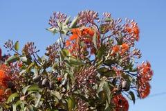 Flores brillantes del árbol de goma floreciente del escarlata australiano del oeste del ficifolia del eucalipto en comienzo del v Fotos de archivo libres de regalías