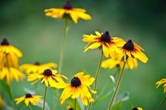 Flores brillantes del Rudbeckia Fotografía de archivo libre de regalías