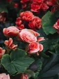Flores brillantes numerosas de begonias tuberosas foto de archivo