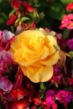 Flores brillantes Rose Fotos de archivo libres de regalías