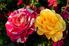 Flores brillantes Rose Imagen de archivo libre de regalías
