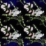 Flores, brotes, ramas del guisante de olor Composición decorativa en un fondo de la acuarela watercolor Adornos florales Patte in Foto de archivo libre de regalías