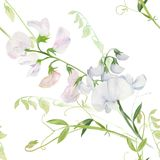 Flores, brotes, ramas del guisante de olor Composición decorativa en un fondo de la acuarela watercolor Adornos florales Patte in Imágenes de archivo libres de regalías