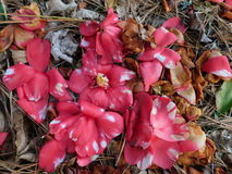 Flores caídas Foto de Stock Royalty Free