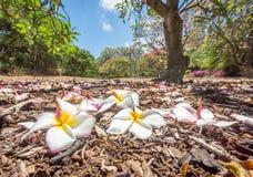 Flores caídas do Plumeria Fotografia de Stock