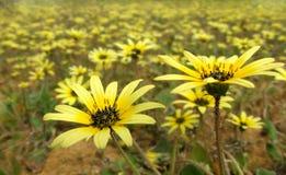 Flores - calendula de Arctotheca Fotos de archivo libres de regalías