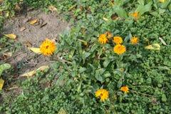 Flores - Calendula - no parque dendrological de Macea Foto de Stock Royalty Free