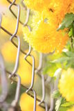 Flores (camomila) imagens de stock royalty free