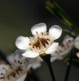 Flores - cera de Geraldton Fotografía de archivo libre de regalías