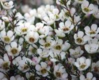 Flores - cera de Geraldton Fotos de archivo