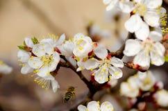 Flores cereza y abeja del vuelo Imágenes de archivo libres de regalías