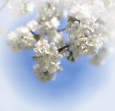 Flores cerry blancos Foto de archivo