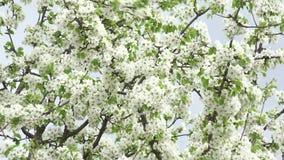 Flores Cherry Tree con Gray Sky Background Enfoque in/out 4K UltraHD, UHD almacen de metraje de vídeo