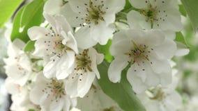 Flores Cherry Tree con Gray Sky Background Enfoque in/out 4K UltraHD, UHD almacen de video