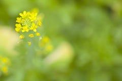 Flores chinas de la col rizada fotos de archivo