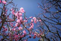 Flores chinas rosadas del ciruelo fotografía de archivo