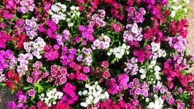Flores Chinensis del clavel fotografía de archivo