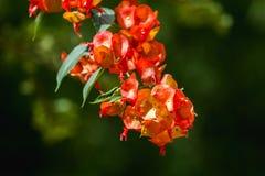 Flores chinesas da planta do chapéu Fotografia de Stock Royalty Free