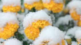 Flores cobertos de neve vídeos de arquivo