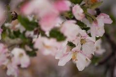 Flores cobertos de neve de Apple de caranguejo na mola adiantada Imagem de Stock