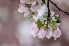 Flores cobertos de neve de Apple de caranguejo na mola adiantada foto de stock royalty free