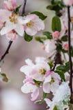 Flores cobertos de neve de Apple de caranguejo na mola adiantada foto de stock