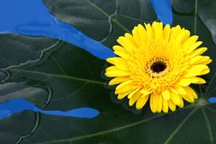 Flores colocadas na água Fotografia de Stock