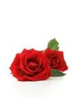 Flores color de rosa aisladas Fotografía de archivo