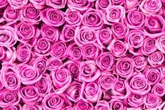 Flores color de rosa del color de rosa hermoso Imágenes de archivo libres de regalías