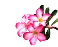 Flores color de rosa del desierto Imágenes de archivo libres de regalías