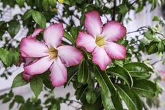 Flores color de rosa del desierto rosado y x28; Adenium Obesum& x29; Fotos de archivo