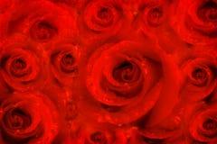 Flores color de rosa del fondo, pasión roja Fotografía de archivo