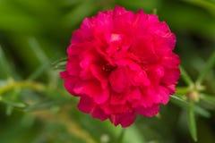 Flores color de rosa del musgo Imágenes de archivo libres de regalías