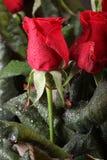 Flores color de rosa del rojo Imagen de archivo libre de regalías