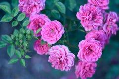 Flores color de rosa del Rosaceae del chino Imagenes de archivo