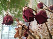 Flores color de rosa muertas y secas Fotos de archivo