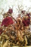 Flores color de rosa muertas y secas Imagen de archivo libre de regalías