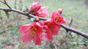 Flores color de rosa salvajes en jardín Fotografía de archivo libre de regalías