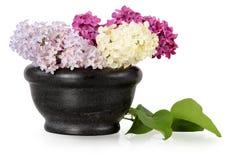 Flores coloreadas de la primavera de la lila Fotografía de archivo libre de regalías