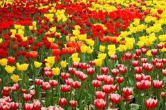 Flores coloreadas del tulipán Foto de archivo