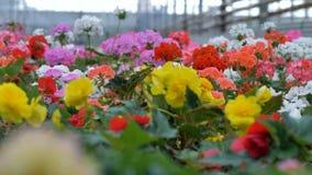 Flores coloreadas múltiplo en soplar del jardín Invernadero creciente de la planta industrial 4K almacen de metraje de vídeo
