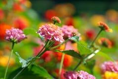 Flores coloreadas multi Foto de archivo
