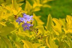Flores coloreadas púrpuras blanquecinas aisladas en el jardín fotos de archivo libres de regalías