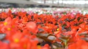 Flores coloreadas rojo en soplar del jardín Invernadero creciente de la planta industrial 4K almacen de video