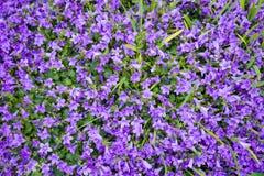 Flores coloreadas violetas de los muralis de la campánula como fondo que crece en el jardín imagenes de archivo
